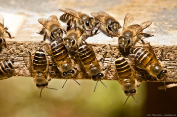 Abeilles Bee Farm Cameron Highlands Malaisie