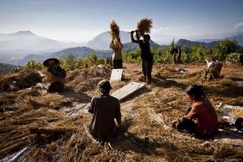 Récolte de riz, Laos