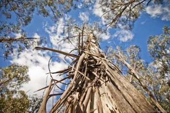 Eucalyptus, Kosciusko National Park