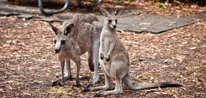 Maman et bébé kangourou, Booderee National Park