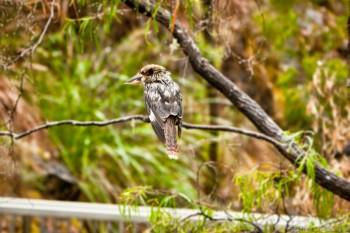 Kookaburra, Beedelup National Park