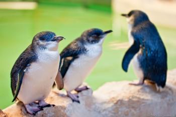 Manchots pygmées, Penguin Island