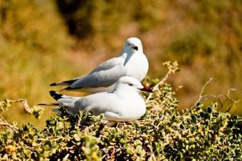 Mouettes, Penguin Island
