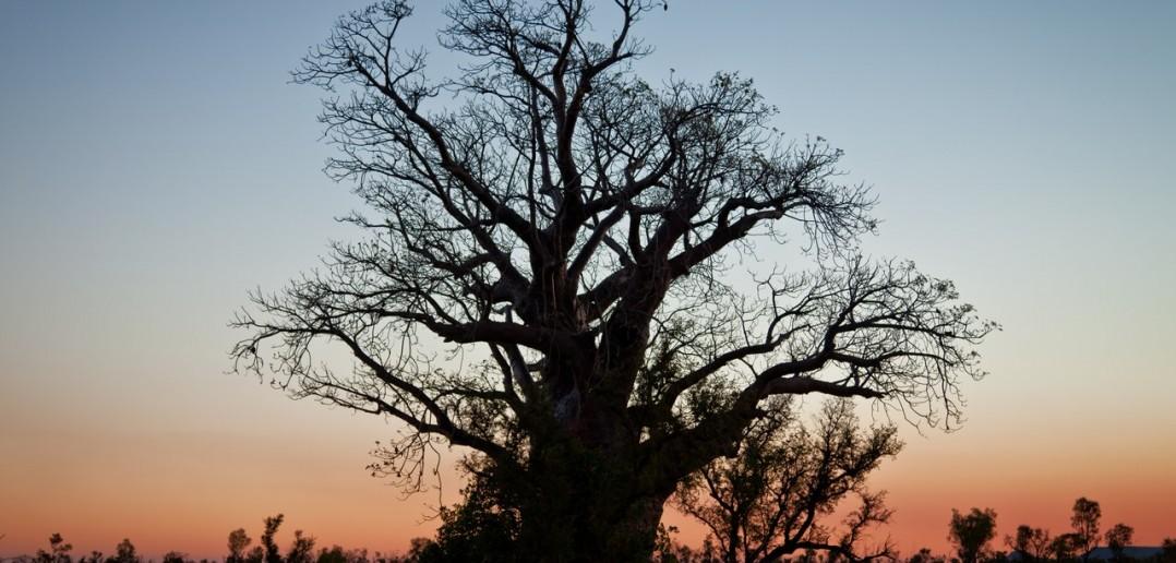 Baobab Kimberley WA Australie