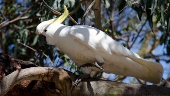 Cacatoès Wagga-Wagga NSW Australie