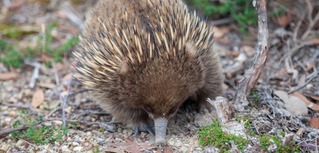 Echidné Port Arthur Tasmanie Australie