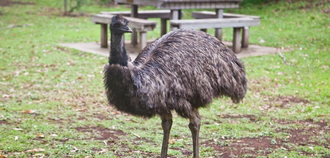 Emeu Tower-Hill Reserve Victoria Australie
