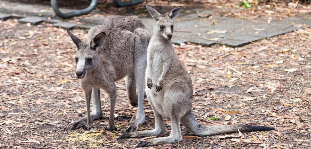 Kangourous Jervis Bay ACT Australie