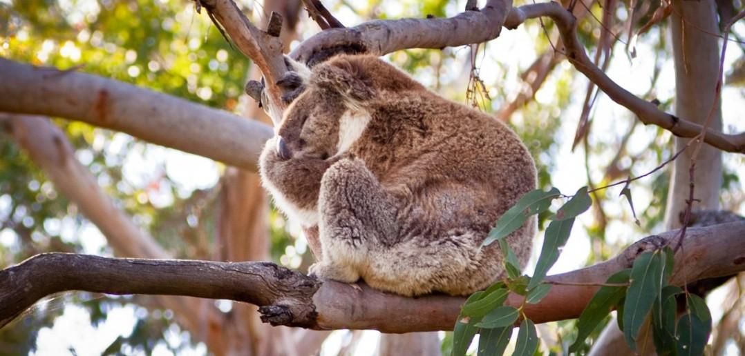 Koala Tower Hill Reserve Victoria Australie