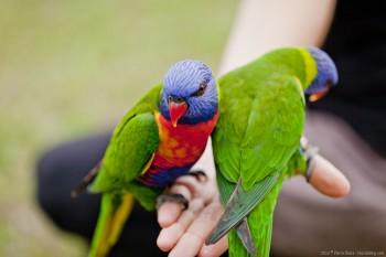 Loriquets Yaamba Queensland Australie