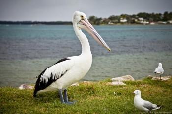 Pélican Greenwell Point NSW Australie