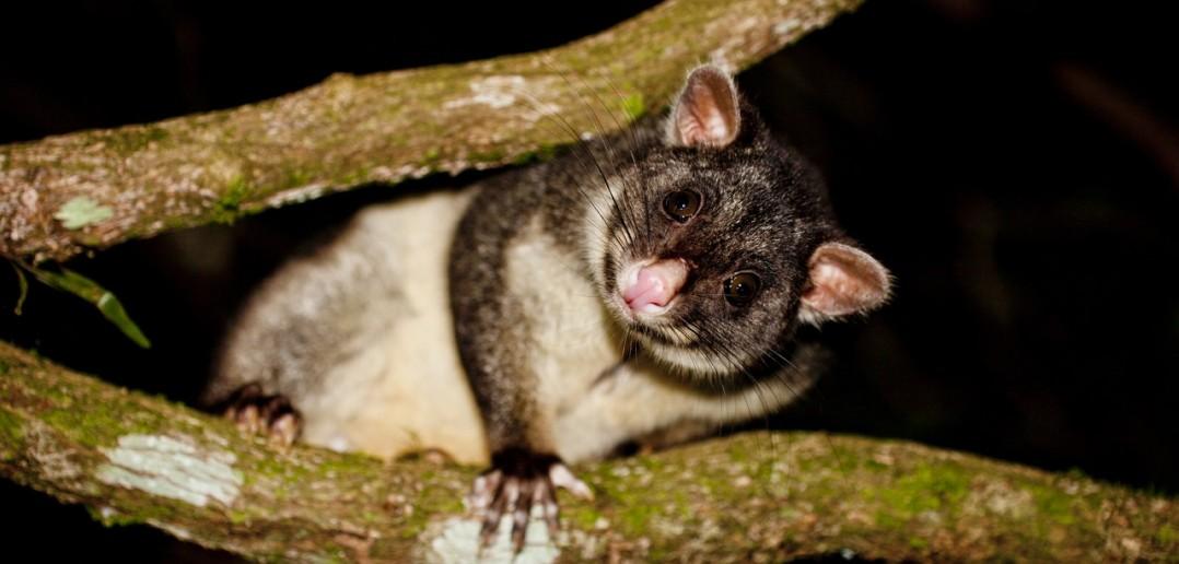 Possum Lamington National Park Queensland Australie