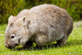 Wombat Wilsons Promontory Victoria Australie