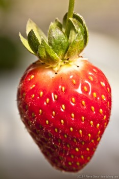 Fraise strawberry farm Cameron Highlands Malaisie