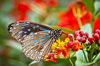 Papillon butterfly garden Cameron Highlands Malaisie