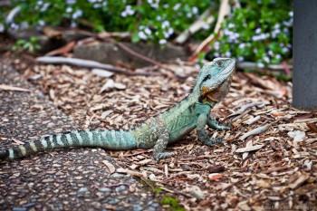 Dragon d'eau, jardin botanique de Canberra