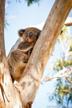 Koala, Great Otway National Park