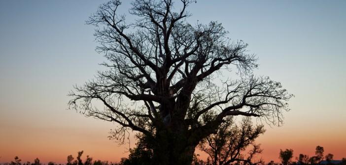 Baobab au coucher de soleil sur la Great Northern Highway