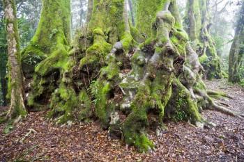 Nothofagus Oorei, Springbook National Park